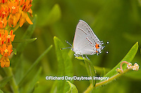 03191-00616 Gray Hairstreak (Strymon melinus) on Butterfly Milkweed (Asclepias tuberosa) Marion Co. IL