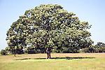 Sycamore tree in summer, Woodhall, Shottisham, Suffolk, England