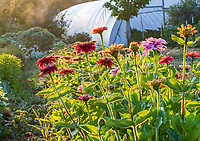 Morning light on row of no-till zinnia flowers, Singing Frogs Farm