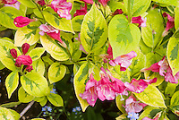 Weigela 'French Lace' in pink bloom with red buds spring flowering shrub with variegated gold and green leaves foliage . Aka Moulin Rouge aka Brigela