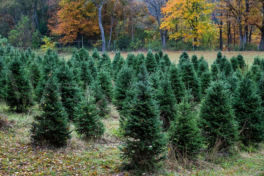 Christmas tree farm, Bennington, Vermont, USA.