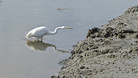 On the alert for something edible, a Great egret prowls the muddy banks at the Hayward Marsh near the Hayward Shoreline Interpretive Center.