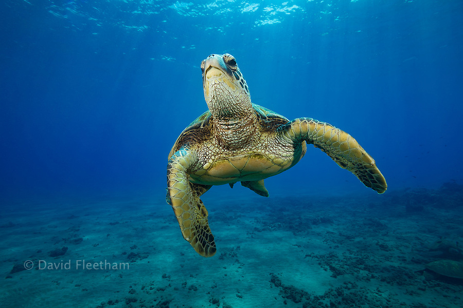 A green sea turtle, Chelonia mydas, an endangered species, in mid-water above a cleaning station off West Maui, Hawaii.