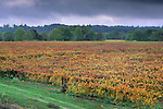 Vineyard in fall along the Russian River, Sonoma County, California