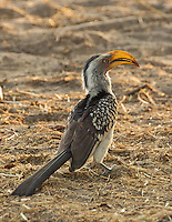 Southern Yellow Billed Hornbill in the Okavango Delta, Botswana Africa.