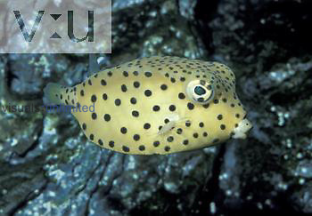 Yellow Boxfish (Ostracion cubicus). Tropical Indo-Pacific.