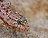 "These little geckos are called ""Chichak"" locally for the sound of their calls. Their color is quite variable, changing based on temperature and background. Spread around the world by ships, these geckos are now common in the southern half of the United States as well as large parts of tropical and sub-tropical Australia."