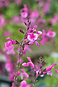 Salvia greggii 'Icing Sugar', early August.