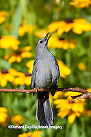 01392-03614 Gray Catbird (Dumetella carolinensis) singing in flower garden with Black-eyed Susans (Rudbeckia hirta) Marion Co., IL