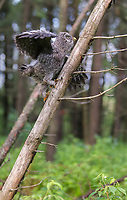 A Great Gray owl Fledgling climbs a tree to get off of the ground and avoid predators. (Washington)