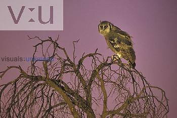 Giant Eagle Owl (Bubo lacteus), Kgalagadi Transfrontier Park, South Africa.