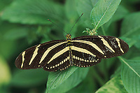 Zebra butterfly (Heliconius charitonius), adult, captive, Switzerland