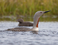 A mother Red-throated Loon responds to a threat by swimming towards her youngster and getting between it and the threat.