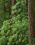 Siskiyou National Forest, OR<br /> FLowering Pacific rhododendron (R. macrophylllum) in Redwood (Sequoia sempervirens) forest - Redwood Nature Trail