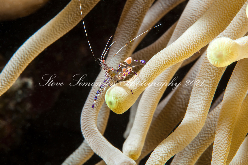 Spotted Cleaner Shrimp on an anemone<br />