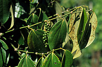 Asie/Malaisie/Bornéo/Sarawak: Détail poivre vert chez les Dayak