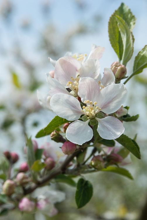 Blossom of Apple 'Laxton's Early Crimson', early May. An English dessert apple raised at the Laxton Brothers Nursery in Bedford and first marketed commercially in 1931.