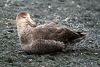 Southern Giant Petrel resting at Sandy Bay, Macquarie Island