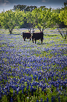 Cattle grazing in a field of wildflowers in the Texas Hill Country near Fredericksburg Texas.   Bluebonnets, the official Texas state flower, blanket large portions of the state in early spring. Their peak blooming season is in late March and early April. Bluebonnets depend on abundant winter rains and warm spring weather.