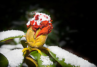 Red partially opened rhododendron bud in snow