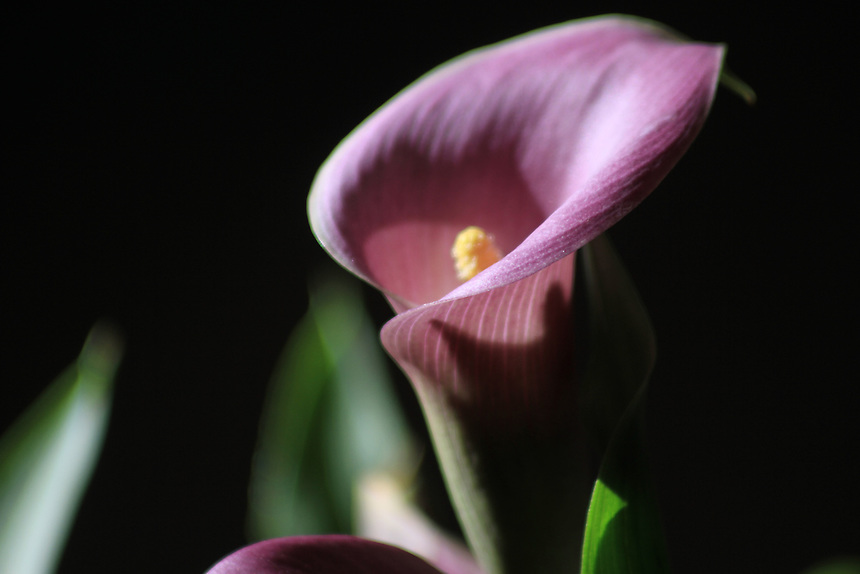 "The purple calla lily is a royal flower. A flower of and for kings and queens. Purple calla lilies have a majestic stature, they are tall, and spectacular. They are the best for bridal bouquets as any bride would want her wedding to be royal - thus, purple or lavender calla lilies are a way to do that! Purple calla lilies are native to the South African continent. The word ""calla"" means beautiful in Greek."