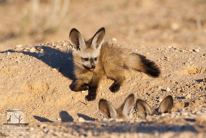 Bat-eared fox pups at burrow entrance