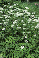GROUND-ELDER Aegopodium podagraria (Apiaceae) Height to 1m. Creeping and patch-forming hairless perennial. Favours damp and disturbed ground and a persistent weed in the garden. FLOWERS are white and borne in compact umbels, 2-6cm across with 10-20 rays (May-Jul). FRUITS are egg-shaped and ridged. LEAVES are fresh green, roughly triangular in outline and twice trifoliate.