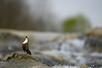 White-throated Dipper (Cinclus cinclus), Italy