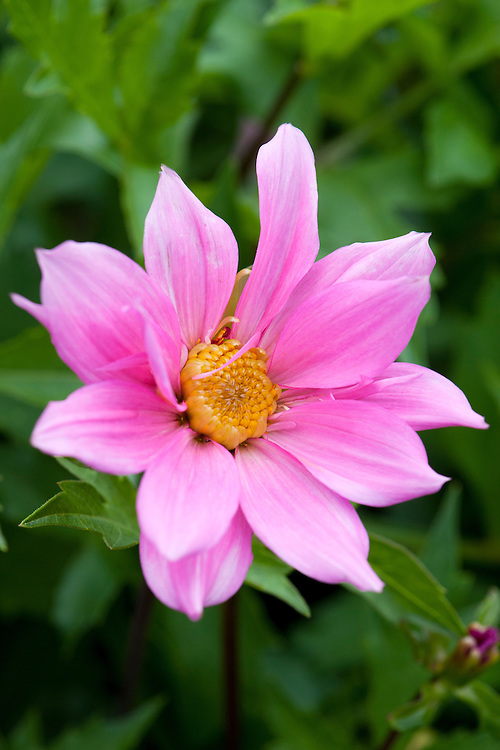 Dahlia 'Honour Francis', mid August.