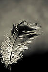 A tatty feather feather