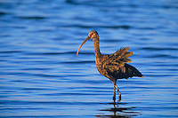 550523017 a wild white-faced ibis plegadis chichi walks in a shallow lagoon in salton sea wildlife refuge in california