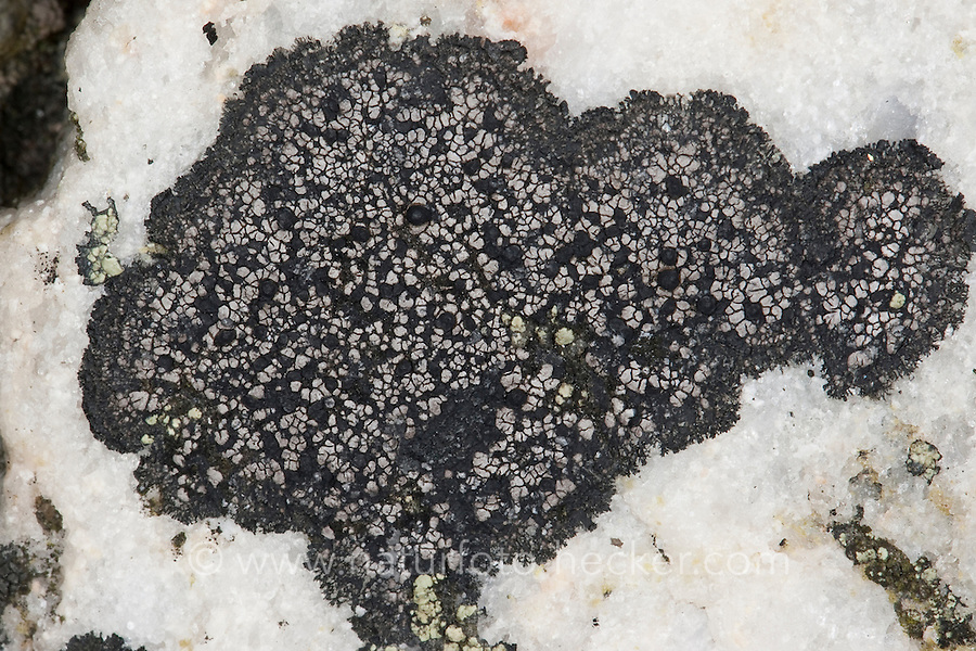Krustenflechte, Krusten-Flechte, Rhizocarpon spec., Lecidea spec., Krustenflechte an Küstenfelsen, Spritzwasserzone