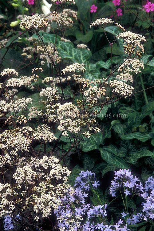 Anthriscus sylvestris 'Ravenswing' Ravens Wing GR13548 in bloom