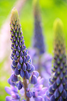 &quot;Soft Lupines&quot;<br />
