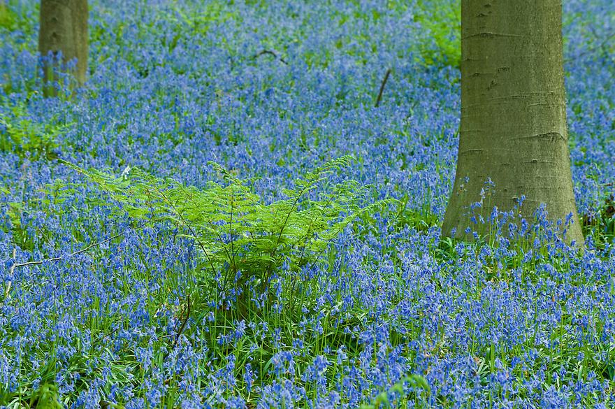 Bracken Pteridium aquilinum and bluebells hyacinthoides non-scripta, Hallerbos forest Belgium