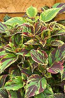 Coleus 'Combat' Solenostemon annual foliage plant