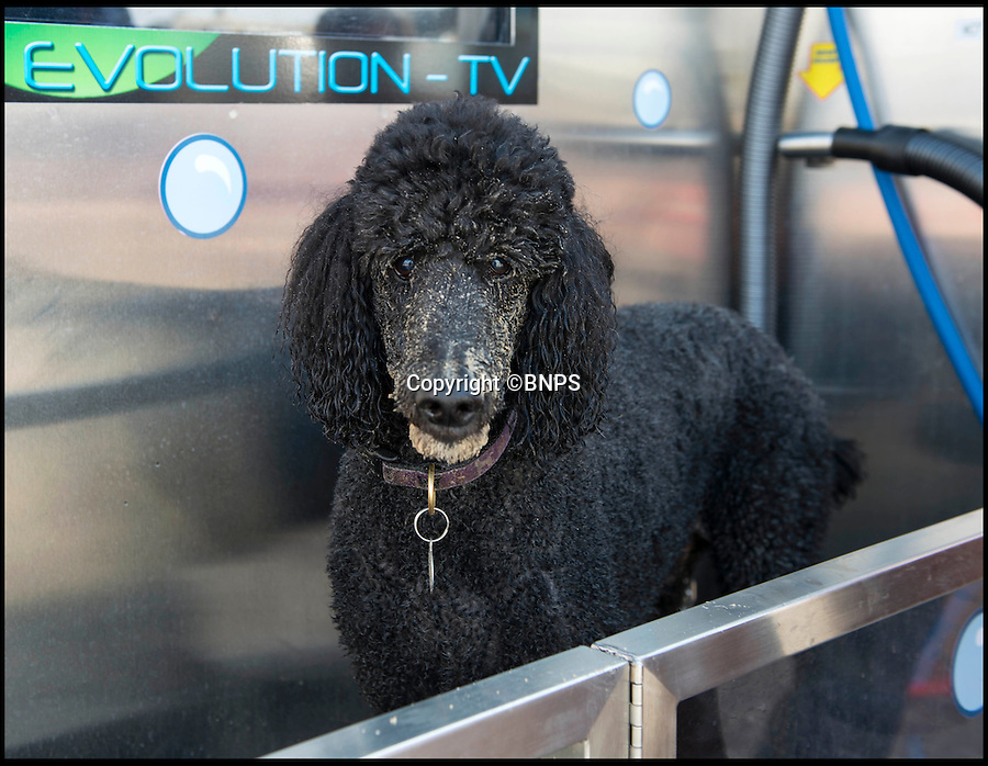 BNPS.co.uk (01202 558833)<br /> Pic: TomWren/BNPS<br /> <br /> 9-year-old Standard Poodle Mottoe before his wash.<br /> <br /> Doggy style...<br /> <br /> A state-of-the-art coin operated dog wash that can turn a dirty mutt into a pampered pooch in minutes has been set up on a British beach for the first time.<br /> <br /> The Evolution Dog Wash is already proving a hit with dog walkers since it was introduced in the posh Sandbanks area of Poole, Dorset, a week ago.<br /> <br /> It allows owners to achieve 'pawfection'  and give their pets the full services of a professional groomer for the cost of a couple of pounds.<br /> <br /> The self-contained unit is made from 'aircraft grade' stainless steel and has the ability to rinse, shampoo, condition, de-flea and blow-dry a canine companion.