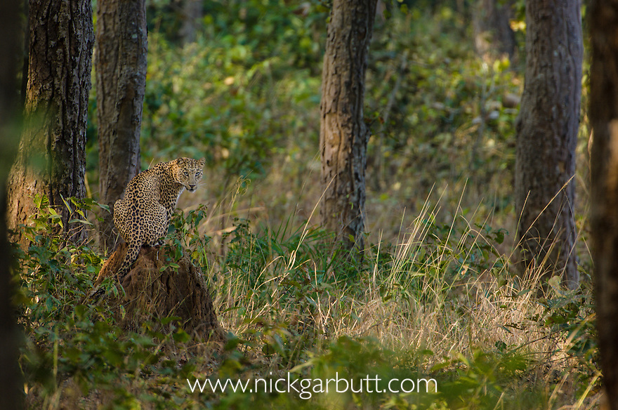 Male Leopard (Panthera pardus) resting on termire mound. Kanha National Park, India.