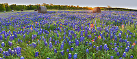 We capture this image of bluebonnets with haybales panorama just as the suns rays pop over the trees at sunrise from a lower angle to capture the flower up close.  What we like was this nice field of Texas bluebonnets and haybales with indian paintbrush sprinkled through out for pop of red to contrast with the blue wildflower in this rural texas scene.