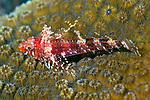 Enneanectes atrorus, Blackedge triplefin, Bonaire