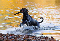 A dog chases a stick in the water in Greene County, VA.   Photo/Andrew Shurtleff