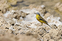 Blue Headed Wagtail - Motacilla flava flava