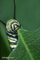 MO02-013z  Monarch Butterfly - caterpillar on milkweed, eating - Danaus plexippus