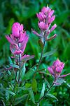 Indian paintbrush flower, Mt. Evans, Colorado