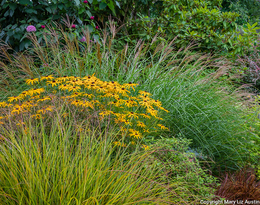 Vashon-Maury Island, WA: Summer perennial garden featuring Miscanthus sinensis 'Little Kitten', Rudbeckia fulgida 'Goldsturm' and Pheasant's-tail grass (Anemanthele lessoniana)