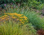 Vashon-Maury Island, WA: Summer perennial garden featuring Miscanthus sinensis 'Little Kitten', Rudbeckia fulgida 'Goldsturm' and Pheasant's-tail grass (Anemanthele lessoniana)