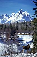 cow moose, Grand Tetons, winter, Grand Teton National Park