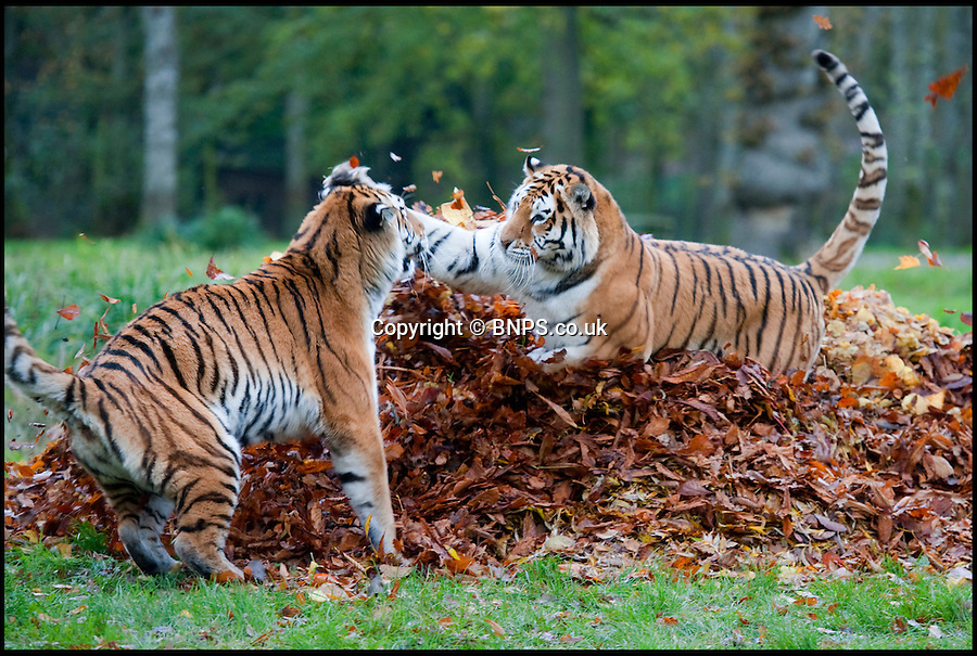 BNPS.co.uk (01202 558833)<br /> Picture: PhilYeomans/BNPS<br /> <br /> Rumble in the jungle...<br /> <br /> Frisky tigers play fight over the autumn leaves. The endangered Amur tigers at Longleat got very excited over the stunning autumn leaves at the Wiltshire Safari park this week. <br /> <br /> Keepers had hidden their food amongst the litter to spark the interest of the beautiful big cats and despite the terrifying face off it was all just a play fighting routine that keeps them alert and active.