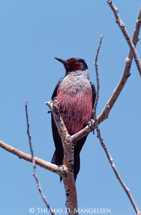 Lewis's woodpecker perched in a tree in Grand Teton National Park, Wyoming.