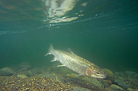 Lx328 Rainbow Trout or Steelhead (Oncorhychus mykiss) swimming in Pacific Northwest river on migration to spawning bed.  Steelhead are rainbow trout that have gone to the ocean for several years.  Steelhead are now classified as salmon.